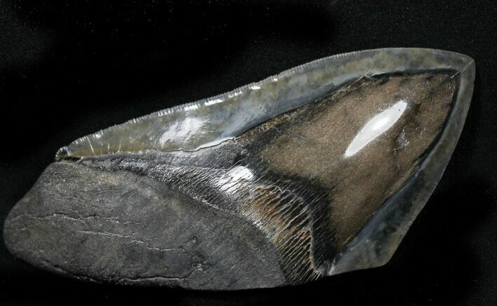 "Giant 6"" Polished Megalodon Tooth ""Paper Weight"""