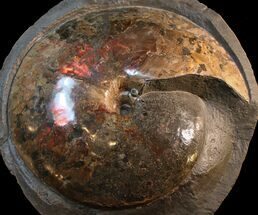"Museum Quality 20.5"" Placenticeras Ammonite - South Dakota For Sale, #31427"