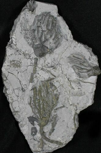Plate Of Pyritized Crinoids (Arthroacantha) - Sylvania, Ohio