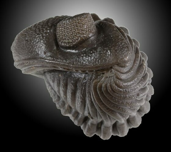 "1.5"" Wide Enrolled Eldredgeops Trilobite - Silica Shale"