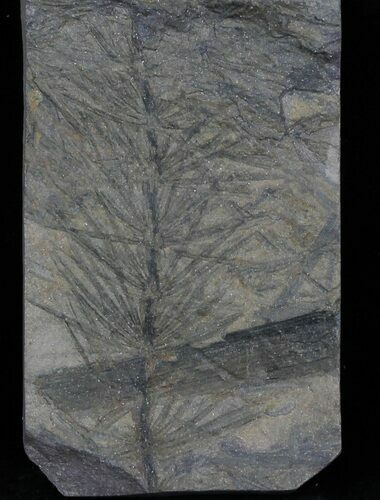 Pennsylvanian Horsetail (Asterophyllites) Fossil - France