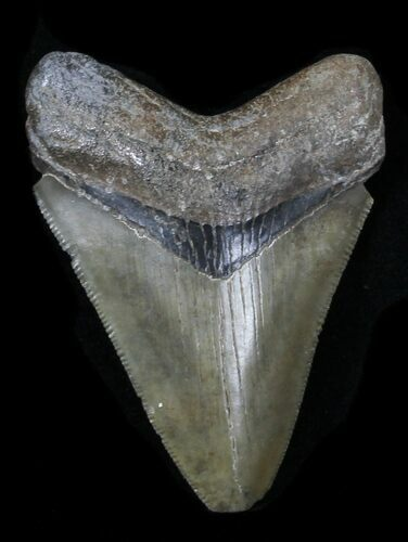"Serrated 2.77"" Juvenile Megalodon Tooth - Georgia"