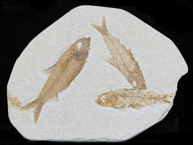 Multiple Knightia Fossil Fish Plate -4.7x6.2""