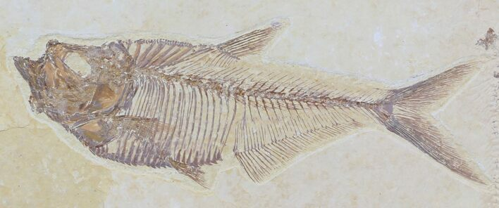 "Detailed 5"" Diplomystus Fish Fossil From Wyoming"