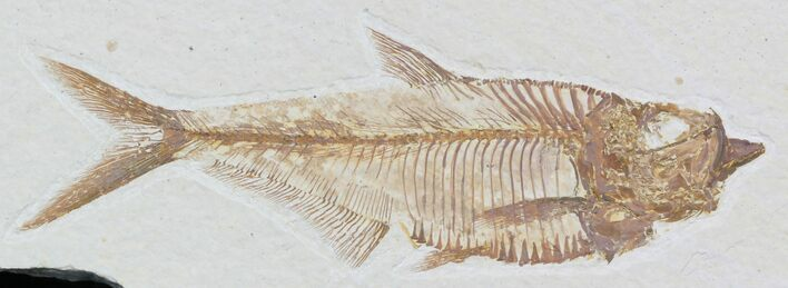 "Detailed 5.6"" Diplomystus Fish Fossil From Wyoming"
