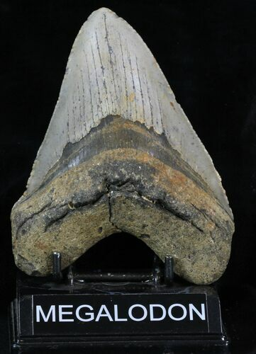"Large 5.57"" Megalodon Tooth - North Carolina"