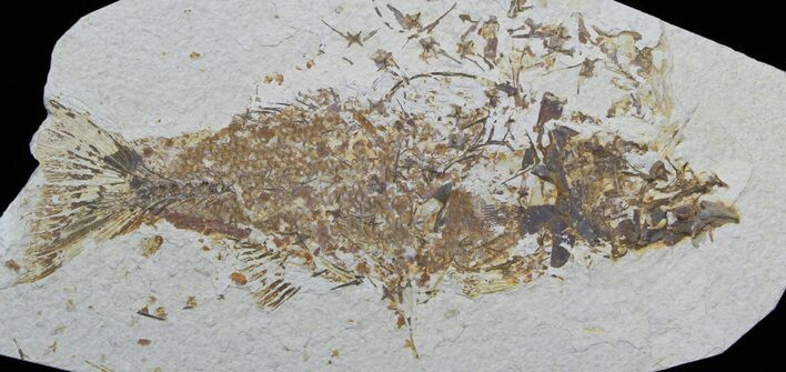 "Bargain 12"" Mioplosus Fossil Fish - Uncommon Species"