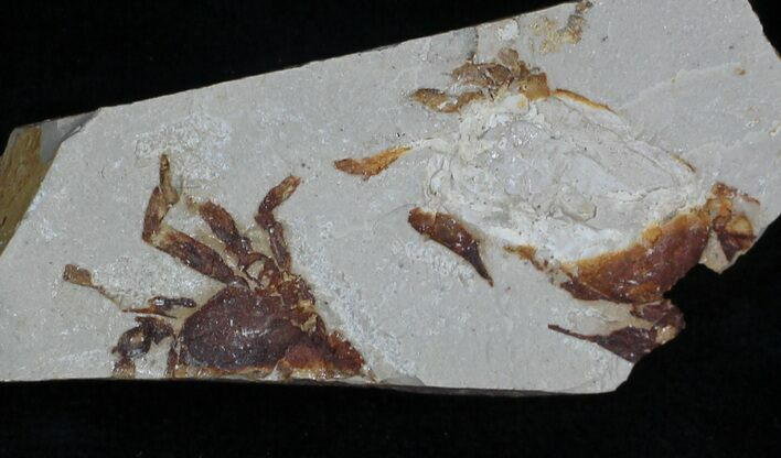 Fossil Pea Crab (Pinnixa) From California - Miocene