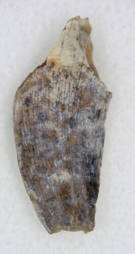 ".83"" Undescribed Tyrannosaur Tooth Fragment - Texas"