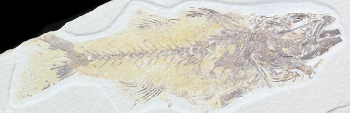 "Bargain 7.6"" Mioplosus Fossil Fish - Uncommon Species"