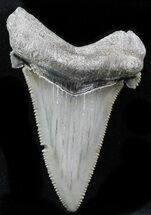 "Buy Serrated 2.44"" Angustidens Tooth - Megalodon Ancestor - #32869"