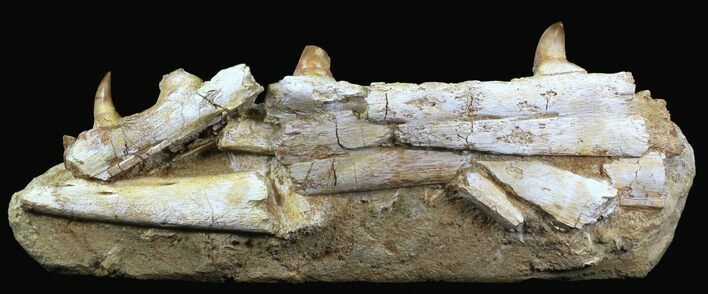 "12.2"" Fossil Mosasaur (Eremiasaurus) Jaw Section"