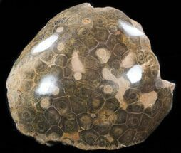 Hexagonaria sp. - Fossils For Sale - #35355