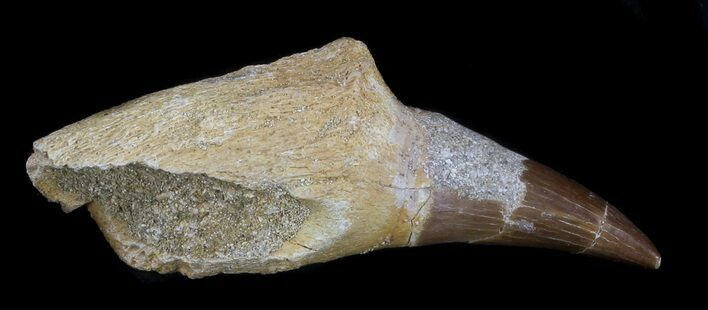 "Bargain 2.15"" Rooted Mosasaur (Eremiasaurus) Tooth"