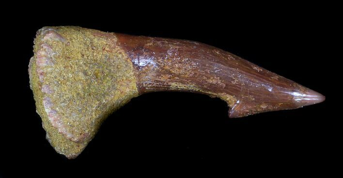 "1.71"" Onchopristis (Giant Sawfish) Rostral Barb"