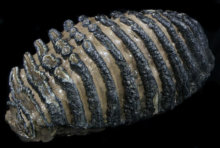 "Awesome 9.6"" Southern Mammoth Molar"