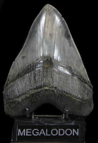 "Massive, 6.23"" Megalodon Tooth - Spectacularly Serrated!"