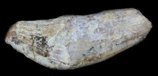 "1.95"" Archaeocete (Primitive Whale) Tooth - Basilosaur For Sale, #36131"