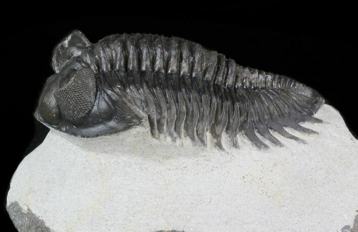 "2.5"" Bug-Eyed Coltraneia Trilobite - Great Eye Detail"