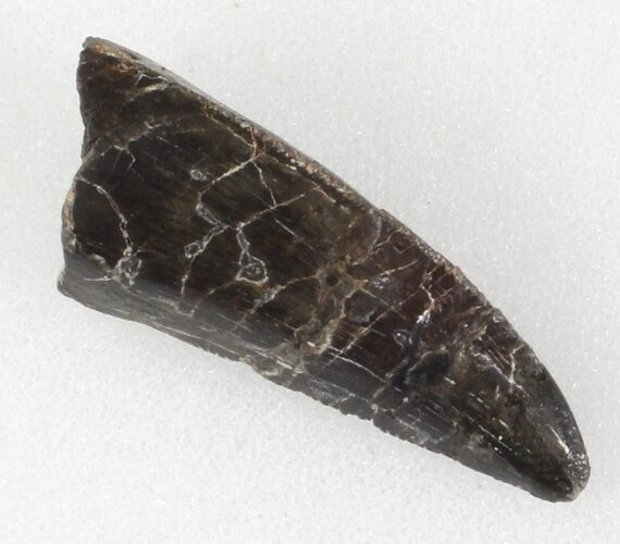 "Serrated, 1.26"" Allosaurus Tooth - Colorado"