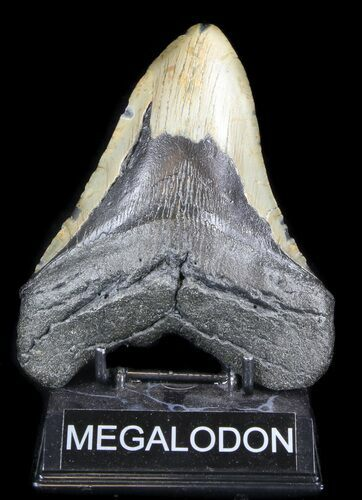 "Huge, 5.75"" Megalodon Tooth - North Carolina"