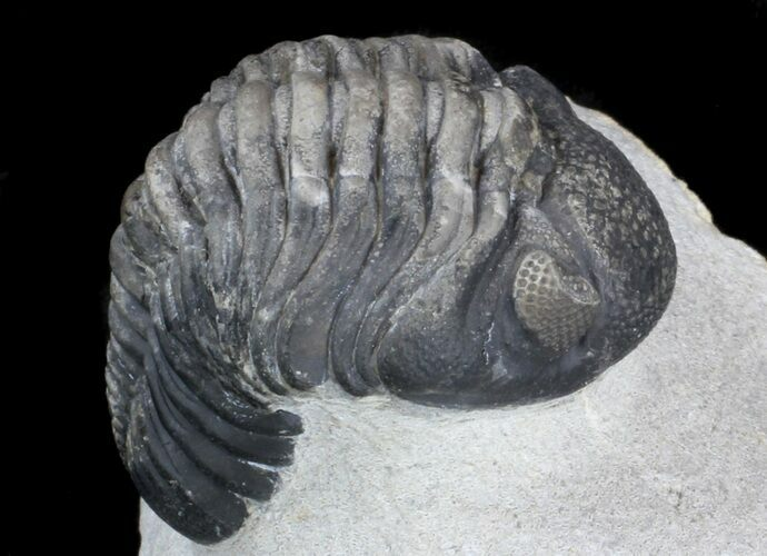 "Multi-toned, 2.5"" Phacopid Trilobite - Great Eyes"
