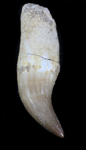 "1.85"" Rooted Halisaurus Tooth (Mosasaur)"