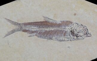 "3.2"" Knightia Fossil Fish - Wyoming For Sale, #36866"