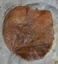 "Buy 2"" Fossil Leaf (Zizyphoides flabellum) - Montana - #37207"