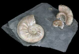 "Buy Iridescent Ammonite Fossils Mounted In Shale - 4.5x4.2"" - #38170"