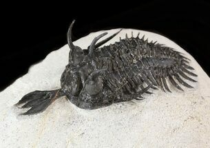 Walliserops sp. - Fossils For Sale - #38796