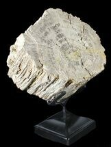 "Buy 8.8"" Cretaceous Petrified Wood Log Section On Stand - Texas - #38923"