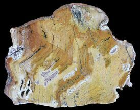 Strelley Pool Stromatolite - Oldest Known Life (3.43 Billion Years) For Sale, #39038
