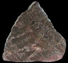 "Buy 5.4"" Polished Inzeria Stromatolite - Alice Springs, Australia - #39043"