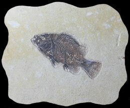 "Buy 5.55"" Cockerellites (Priscacara) Fossil Fish - Hanger Installed - #39082"