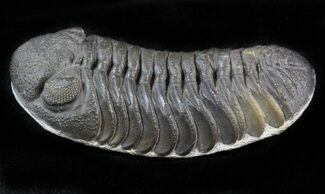 Barrandeops (Phacops) - Fossils For Sale - #39453