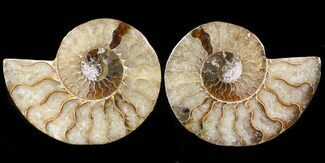 Cleoniceras cleon - Fossils For Sale - #39585