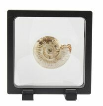"Buy 2"" Perisphinctes Ammonite Fossil In Display Case - #40009"