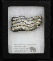 "Buy 2.9"" Mammoth Molar Slice - South Carolina - #40096"