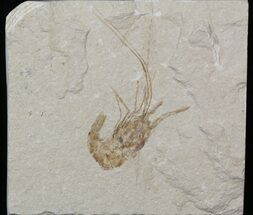 Cretaceous Fossil Shrimp Carpopenaeus - Lebanon For Sale, #40457