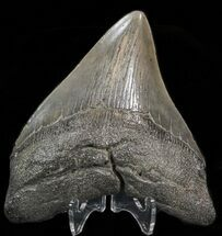 Carcharocles megalodon - Fossils For Sale - #39936