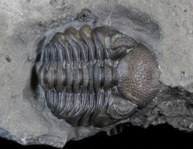 Buy Small Eldredgeops Trilobite In Matrix - New York - #40693