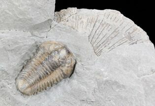 Flexicalymene retorsa - Fossils For Sale - #40680