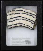 "Buy 3.4"" Mammoth Molar Slice - South Carolina - #40975"