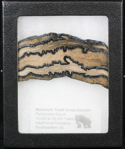 "3.9"" Mammoth Molar Slice - South Carolina"