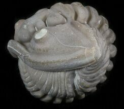 Enrolled Flexicalymene Trilobite - Ohio For Sale, #40742
