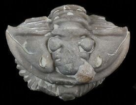 Enrolled Flexicalymene Trilobite - Ohio For Sale, #40745