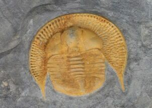Nankinolithus sp. - Fossils For Sale - #41475
