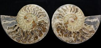 "Buy 9.6"" Choffaticeras (""Daisy Flower"") Ammonite   - #41668"