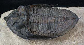 "Buy 2.8"" Bumpy Zlichovaspis Trilobite - Great Eye Facets - #41773"